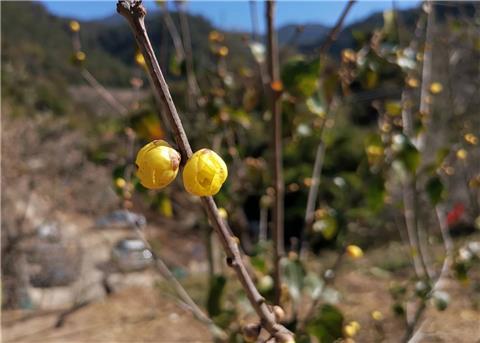 看到几棵黄色的腊梅有很多花苞,开的不多,很漂亮